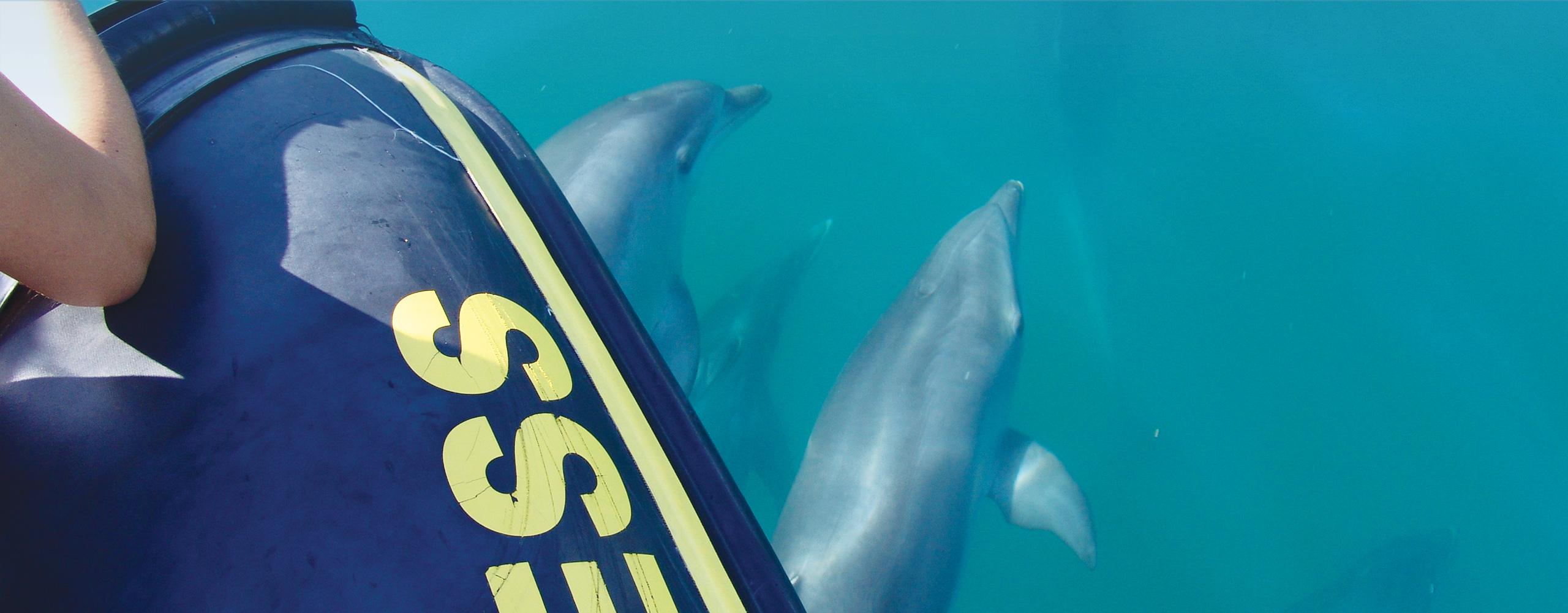 bottlenose dolphins dolphin water algarve vilamoura